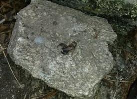 Гигантски скорпион откриха край Драгиново