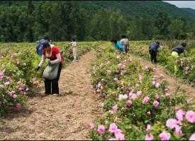 В Стрелча: Розоберът започна с прилична цена