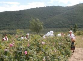 В Стрелча: Откриват празника на розата в 16 ч.