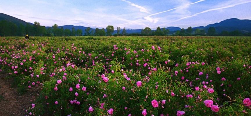 Слабата реколта вдигна цената на розовия цвят