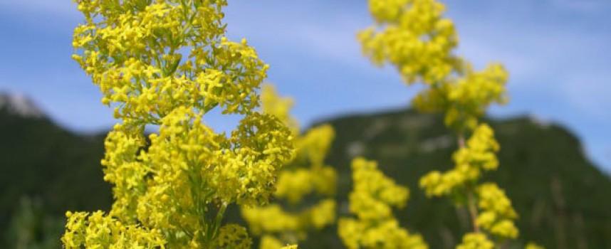 На Еньовден: За всяка болка – билка, планинските растения са истинско богатство