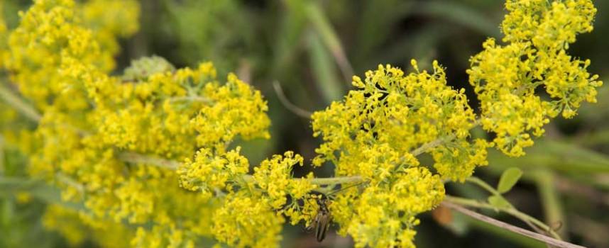 На Еньовден: 24 билки са забранени за бране