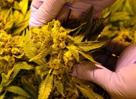 Варварци гледат марихуана в оранжерия, до вчера