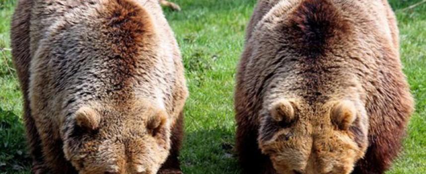 До днес: Броиха кафявата мечка в Родопите