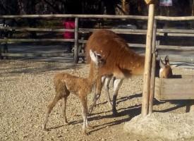 В Деня на бащата: Ламата на Острова роди бебе