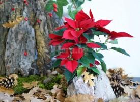 66 дни остават до Рождество: Време е да покрием Коледната звезда