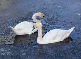 От петък до неделя: Броят юбилейно водолюбивите птици