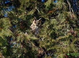 Защитена сова си избра Пазарджик