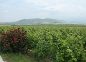 Античният път на тракийското вино е в нашия регион, вижте къде