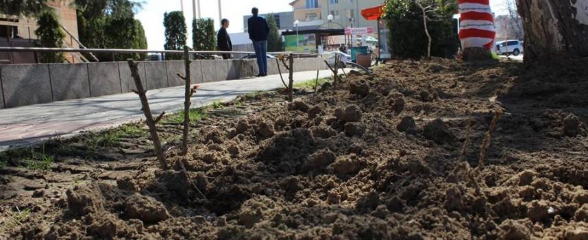 В Септември: 200 корена рози изчезнаха от Главната, подменят ги