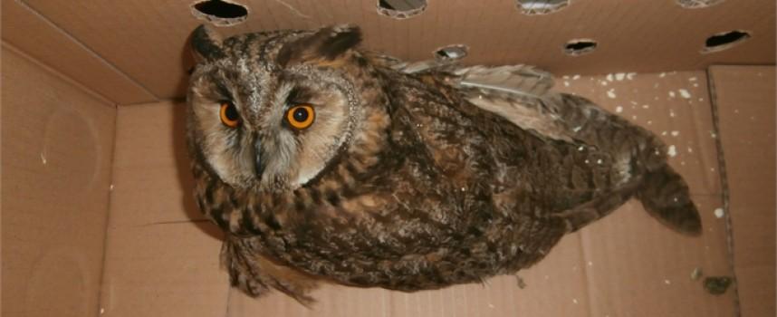 Спасиха горска ушата сова със счупено крило
