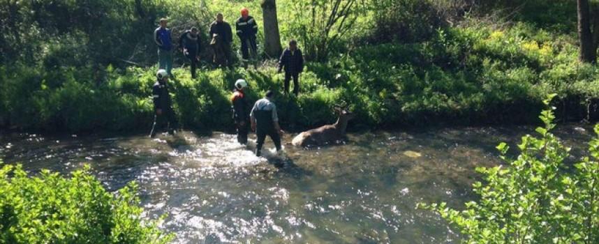 В Габрово: Пожарникари спасиха благороден елен