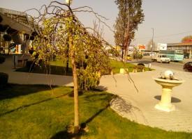 За градината: Изберете си дърво с плачеща корона