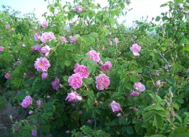 От днес стопаните кандидатстват по de minimis за плодове, зеленчуци, маслодайна роза и винени лозя