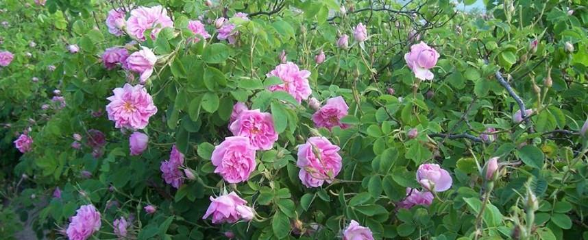 """Вижте програмата за """"Празник на розата"""" в Стрелча"""