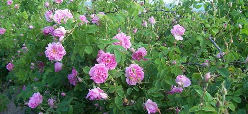 Правителството реши: Пази маслодайната роза със закон