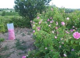 В Стрелча и Брацигово: Започна розоберът
