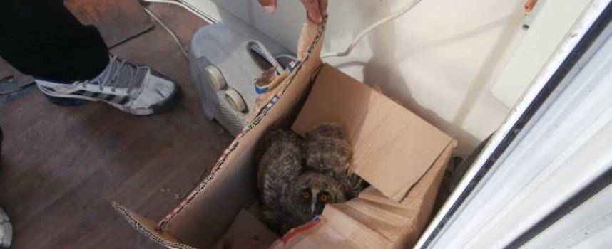 Две горски ушати сови ще оцелеят след намеса на РИОСВ и общински служител