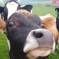 Община Стрелча забрани животинските пазари заради туберкулозата по говедата