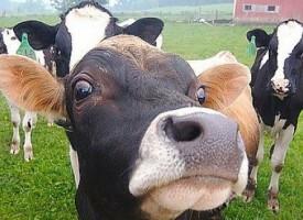 Гинче Караминова свиква епизоотичната комисия, заради зараза по говедата
