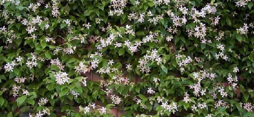 Моята градина: Жасминът – кралят на благоуханията