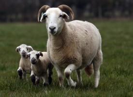 Ваксинират телетата и агнета срещу Син език, ако не глоба до 2000 лв.