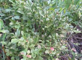 Бедствие: Няма боровини на Атолука