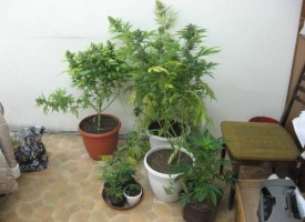 В Щърково: Жена си гледа марихуана в пет саксии