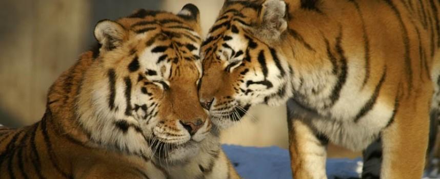 Честито: Имаме си четири тигърчета бебета, първа фотосесия в понеделник
