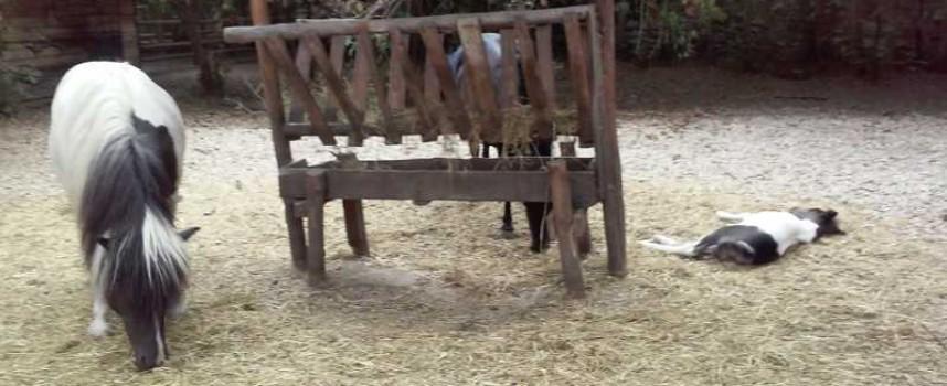 В зоокъта: Седемте Виетнамски прасенца щъкат, бебето пони подремва, тигърчетата – бозаят и спят
