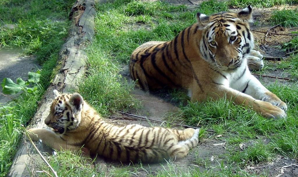 18Zoo_Siberian_Tigers