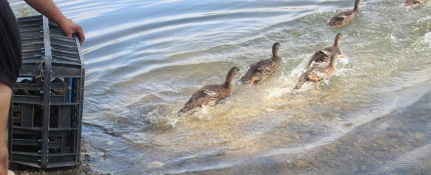 Ловджии разселиха зеленоглава патица в рибарниците край Септември