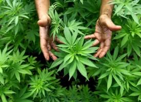 Криминалисти иззеха марихуана в Капитан Димитриево, задържаха двама