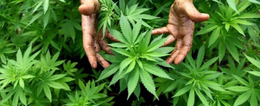 Мъж от Капитан Димитриево полива пет корена марихуана