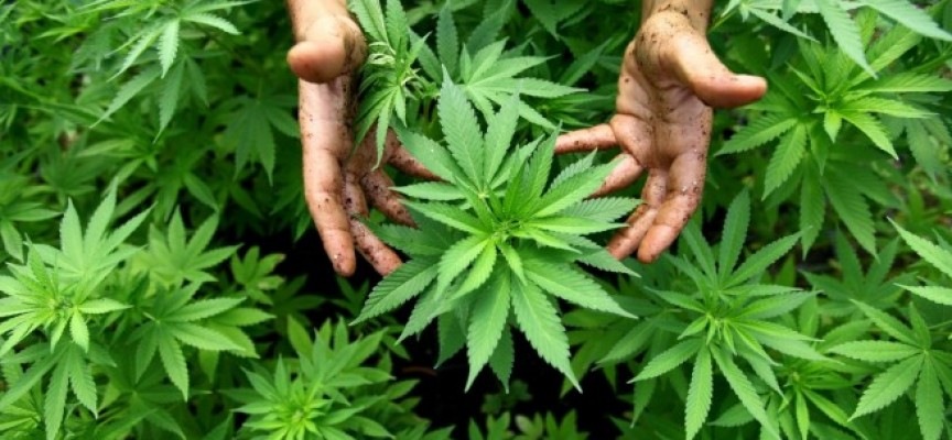 В Бяга: Откриха насаждения с марихуана в двора на 51-годишен