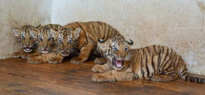 Търсят се кръстници за малките тигърчета