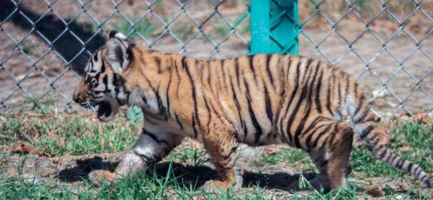 Вижте разходката на четирите тигърчета и Найша