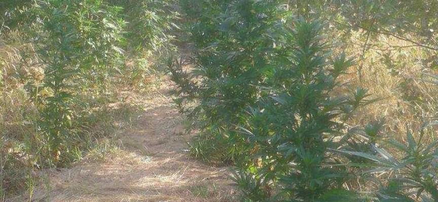 Арестуваха двама за плантация с марихуана