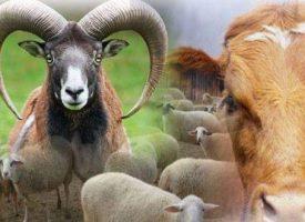 Мюсюлманите празнуват Курбан Байрям, празникът на опрощението