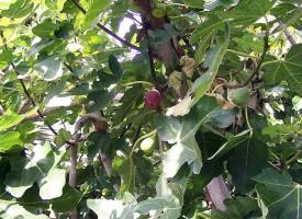 Фестивал на смокинята си направиха във Ветрен дол, вариха ракия на площада