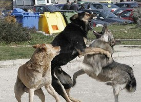 РЗИ: Най-много кучешка тения има в Ковачево и Алеко Константиново
