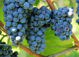 Апаш задигна 80 кг. грозде в Капитан Димитриево