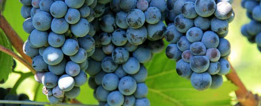 Започна гроздоберът в селата край Пазарджик
