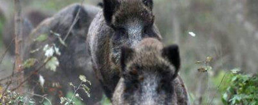На вниманието на ловците: Глиган с Африканска чума е установен в областта
