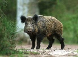 Установиха Африканска чума по свинете и в областта
