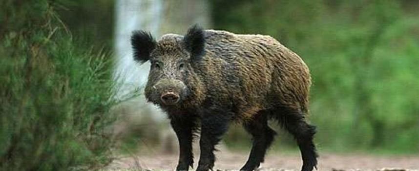 УТРЕ: Откриват сезона за групов лов на дива свиня