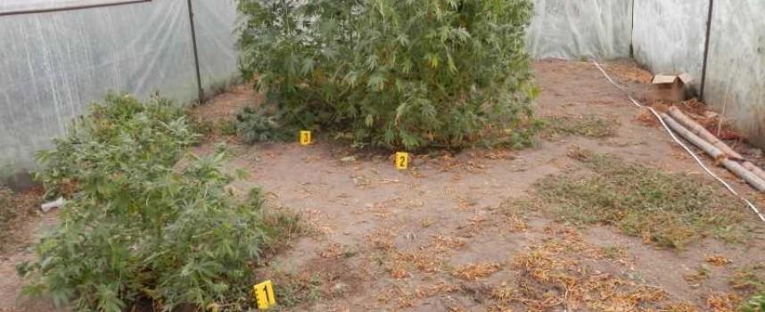 Нови насаждения с марихуана откриха в околностите на Пазарджик