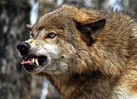 В Стрелча: Започват ваксинации срещу бяс при хищниците