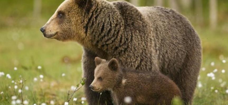 Екоексперти се включиха в преброяването на дивите мечки в Родопите