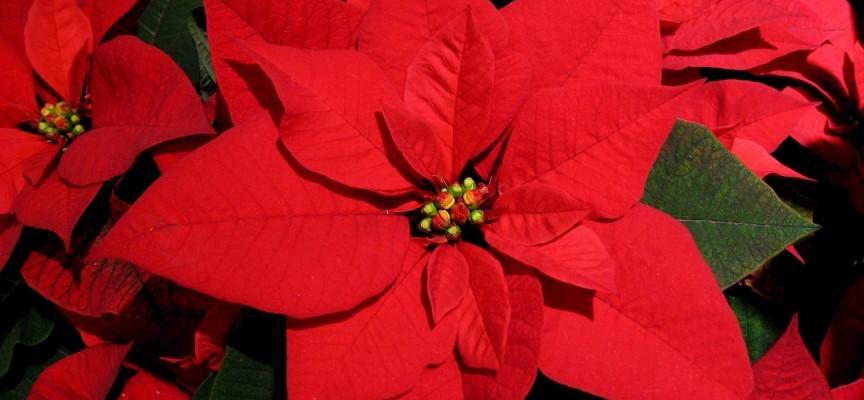 От два до пет лева за Коледна звезда на Пазара, вижте и другите цветя цъфтящи за Рождество